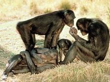 Ученые: Человеческие болезни опасны для обезьян