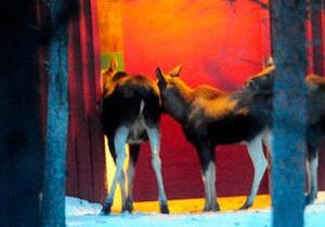 В Швеции семейство лосей поймали на краже сена