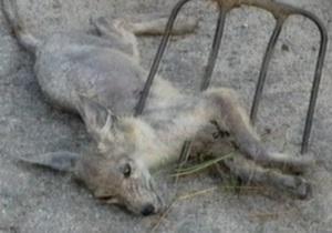 СМИ: Мама убитого детеныша чупакабры воет каждую ночь