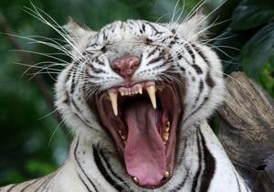 В Чили тигр напал на работника зоопарка
