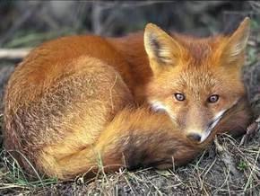 В Киевском зоопарке отпразднуют День лисы