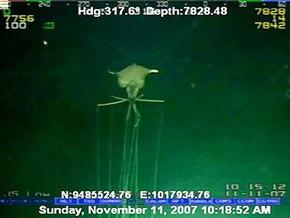 Глубоководный монстр со снимка Shell оказался кальмаром неизвестного вида