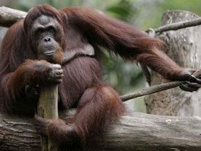 Орангутанги оказались расчетливыми в отношениях с деньгами и партнерами