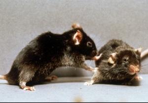 Ученые испытали на крысах революционный метод мужской контрацепции