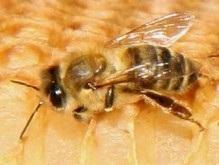 Медоносные пчелы общаются на разных языках