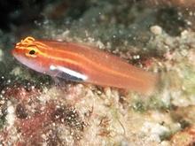 Многие виды рыб могут светиться красным светом