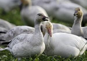 В России гуси спасли своих хозяев от гибели во время пожара
