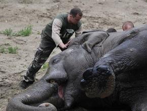 Киевский зоопарк считает, что похудение слона полезно для его здоровья