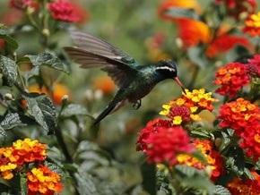 Спаривание заставляет самцов колибри испытывать колоссальные перегрузки