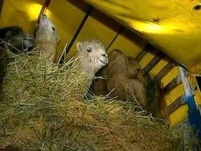 Украина назвала условие транзита российских верблюдов в Европу