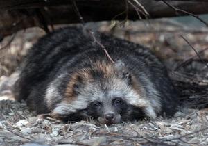 В киевском зоопарке енот загрыз двух котят