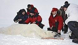 Путин измерил белого медведя и надел на него спутниковый ошейник