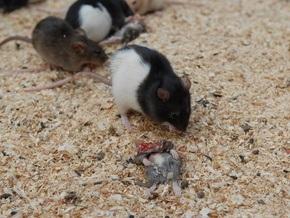 Крысоводы: Участники акции Геть усіх жестоко издевались над крысами