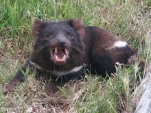 Зоологи нашли способ остановить рак у тасманийских дьяволов