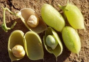 Хмельницкая область будет выращивать горох для Израиля