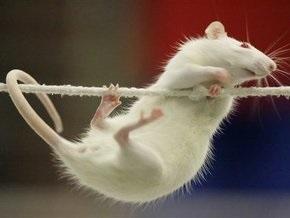 Американцы улучшили эрекцию у крыс паучьим ядом