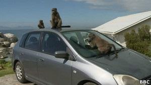Агрессивные бабуины в Кейптауне нападают на людей