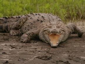 Паника в египетском городе: гигантский крокодил поселился в оросительном канале