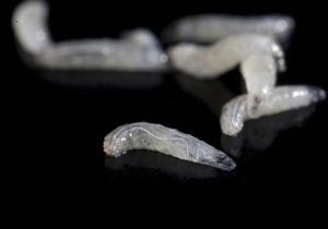 Новости науки: Голод заставляет личинок дрозофил становиться каннибалами