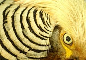 Новости Великобритании - странные новости: Жителей британского графства преследует агрессивный фазан