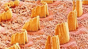 Британские ученые восстановили клетки слухового нерва