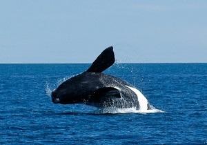 В Шотландии спасены 10 китов, выбросившихся на берег