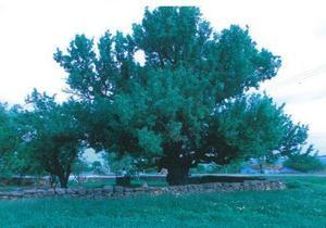 В Одесской области 300-летняя груша может получить статус ботанического памятника