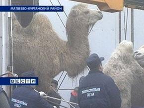 Российские верблюды после трехнедельного транзита добрались до Болгарии
