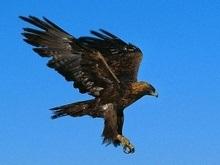 Европейские хищные птицы слетаются для зимовки в чернобыльскую зону