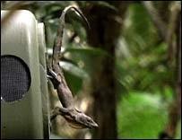 Робот из латекса раскрыл секреты общения ящериц