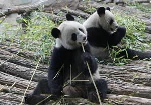 Свидания панд из зоопарка Эдинбурга оказались безрезультатными