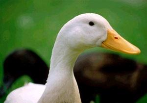 Гуселетово - музей гусей - В Алтайском крае появится первый в мире музей гуся в селе Гуселетово