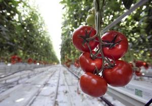 Биологам впервые удалось полностью расшифровать геном томатов