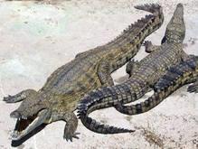 Молдавский контрабандист вывозил из Одессы крокодилов на своем теле