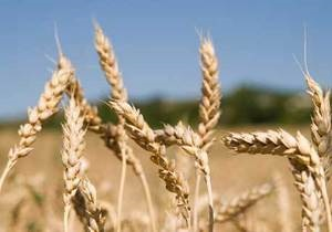 Россия может запретить экспорт зерна