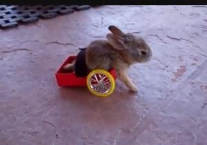 Школьник создал инвалидную тележку для парализованного крольчонка