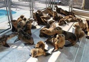 Новости США - экологическая катастрофа: В Калифорнии на пляж выбросились сотни детенышей морских львов