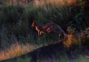 Новости Австралии: В Австралии на депутата напал кенгуру