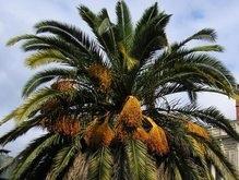 В киевском ботсаду зацвела одна из старейших пальм в Европе