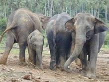 Украинские зоологи отправились на Шри-Ланку спасать слонов