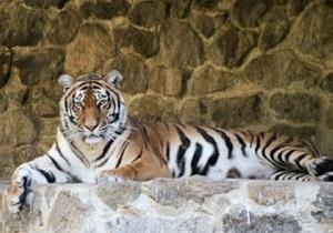 В Киевском зоопарке умер амурский тигр