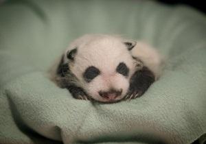 Новости науки: В Китае родились двое гигантских панд