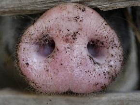 Украина запретила импорт российских свиней
