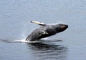 Экологи беспокоятся о судьбе горбатых китов в Австралии