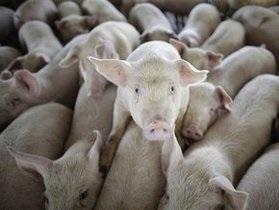 В еде для британских заключенных-мульман нашли свинину