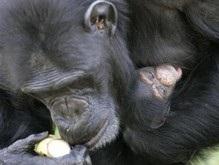 Зоологи: Шимпанзе снимают стресс с помощью объятий