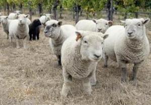 Поезд Москва-Париж столкнулся со стадом овец в Беларуси