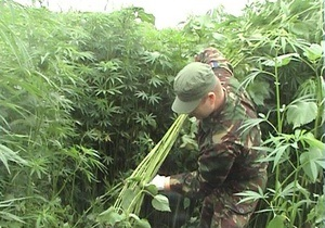 В Житомирской области уничтожили 10 тысяч кустов конопли