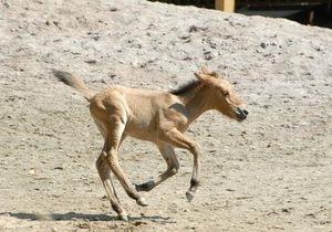 В киевском зоопарке родилась лошадь Пржевальского