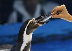 В Японии сбежавшему из аквапарка пингвину дадут имя